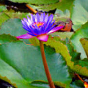 Water Lily In Tahiti Art Print