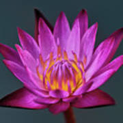 Water Lily Iv Art Print