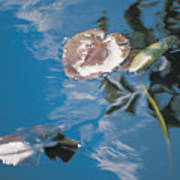 Water Lily Leaves And Reflection Of Clouds In Unknown Lake Art Print