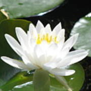 Water Lily Lovely Art Print