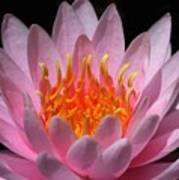 Water Lily On Fire Art Print