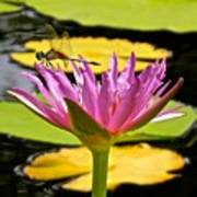 Water Lily With Dragonfly Art Print