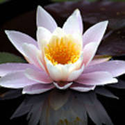 Water Lily With Reflection  Art Print