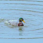 Water Off A Ducks Back Art Print