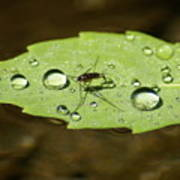Water Strider Has A Drink At The Floating Leaf Cafe Art Print