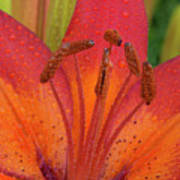 Watered Lily Art Print