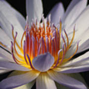 Waterlily Art Print