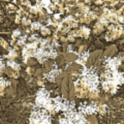 Waxleaf Privet Blooms On A Sunny Day In Sepia Tones Art Print
