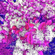 Waxleaf Privet Blooms On A Sunny Day With Magenta Hue Art Print
