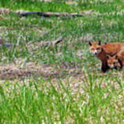 We Are 3 Red Fox Puppies Art Print