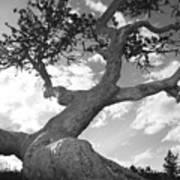 Weather Beaten Pine Tree And Sun - Monochrome Art Print