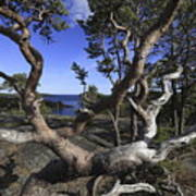 Weather Beaten Pine Tree At The Coast Art Print