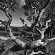 Weather Beaten Pine Tree At The Coast - Monochrome Art Print