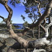 Weather Beaten Pine Tree At The Swedish High Coast Art Print