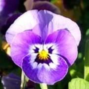 Wee Purple Pansey Art Print