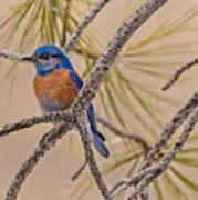 Western Bluebird Male In A Pine Tree.  Art Print