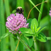 Western Honey Bee On Clover Flower Art Print