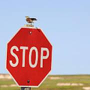 Western Meadowlark Singing On Top Of A Stop Sign Art Print