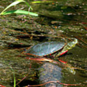 Western Painted Turtle Art Print