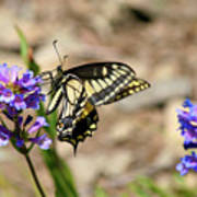 Western Tiger Swallowtail Art Print