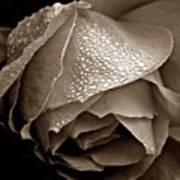 Wet Rose In Sepia Art Print
