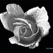 Wet Rose Portrait Art Print