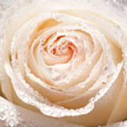 Wet White Rose Art Print
