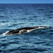 Whale Watching Balenottera Comune 3 Art Print