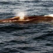 Whale Watching Balenottera Comune 7 Art Print