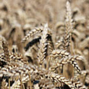 Wheat Close Up Summer Season Art Print