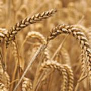 Wheat Ears 1 Art Print