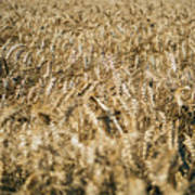 Wheat In The Wind Art Print