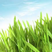 Wheatgrass Against A White Art Print