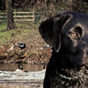 Where's The Geese Labrador 4 Art Print