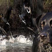 Where's The Geese Labrador 6 Art Print