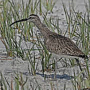 Whimbrel Art Print
