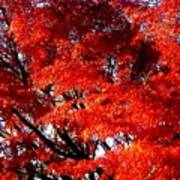 Whispers Of A Japanese Maple Art Print