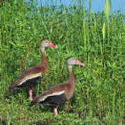 Whistling Ducks Art Print
