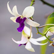 White And Purple Orchid Art Print