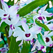 White And Purple Orchids In Greenhouse At Pilgrim Place In Claremont-california Art Print
