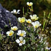 White And Yellow Poppies 1 Art Print