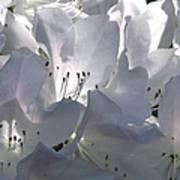 White Azaleas 2 Art Print