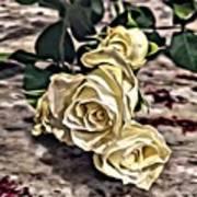 White Baby Roses Art Print