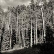 White-barked Birch Forest 3 Art Print