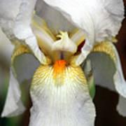 White Bearded Iris 2 Art Print