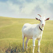 White Billy Goat Art Print