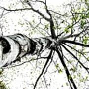 White Birch 2011-1a Art Print