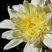 White Blossom Of Radiance Art Print