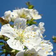 White Blossoms Art Prints Spring Tree Blossoms Canvas Baslee Troutman Art Print