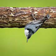 White-breasted Nuthatches Art Print